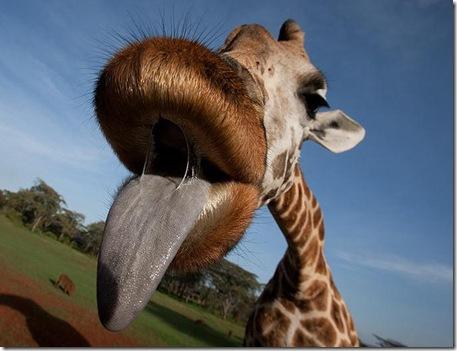 giraffekiss