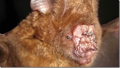 lumpy-nosed bat