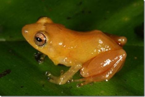 Diasporus citrinobapheus(yellow dyer frog)