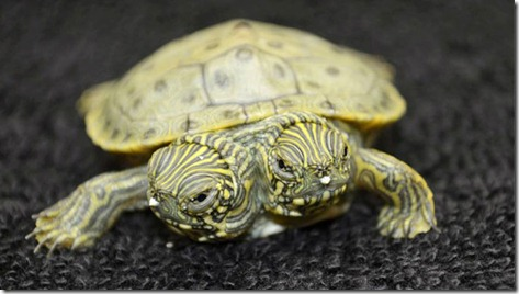 This North American river turtle, also known as cooter, was born at the San Antonio Zoo last week. Conjoined-cooters