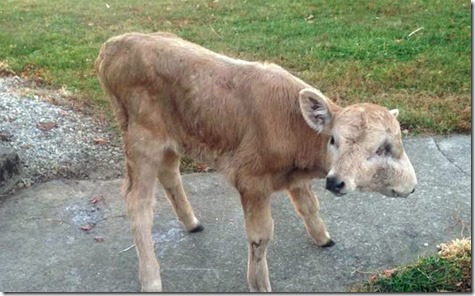 0_CATERS_TWO_FACED_CALF_WALKING_01-800x498