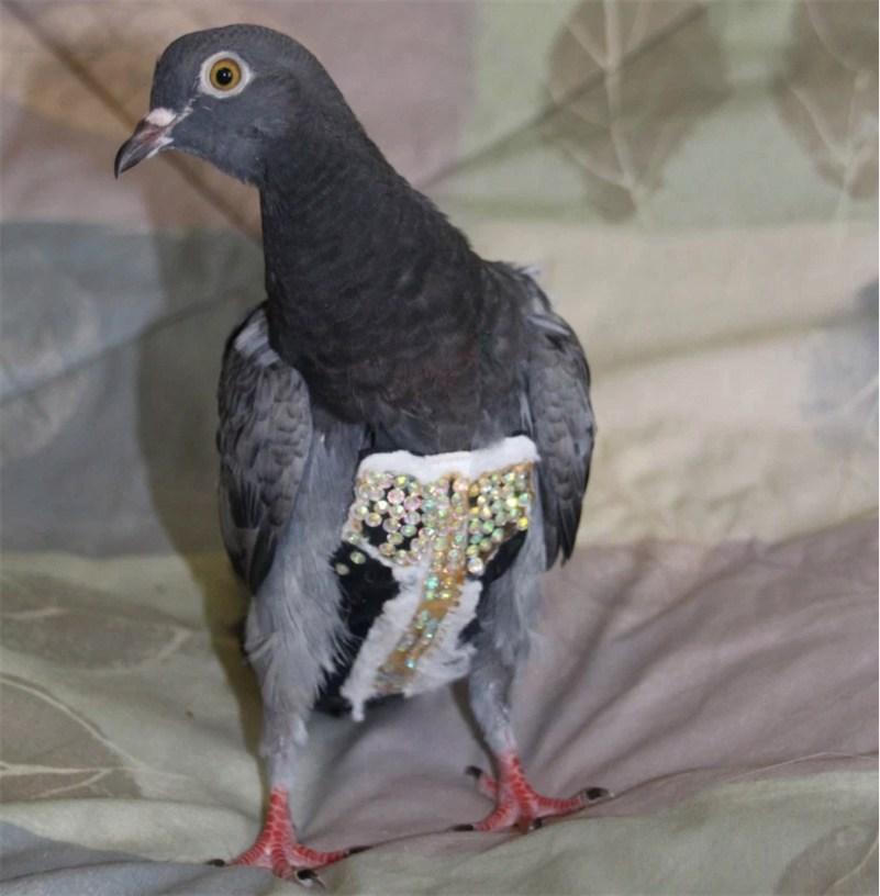 fancy-pigeon.jpg